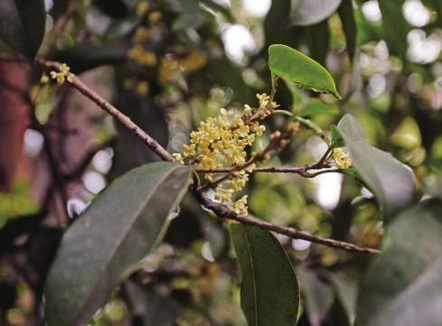 其品种以花色而言,有金桂,银桂,丹桂之分;以叶型而言,有柳叶桂,金扇桂